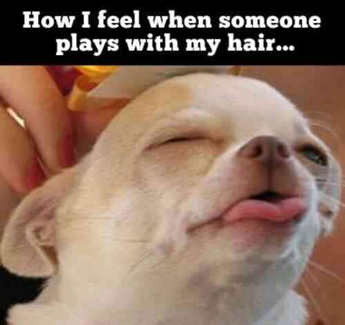 Funny Animal Memes - when someone plays with my hair