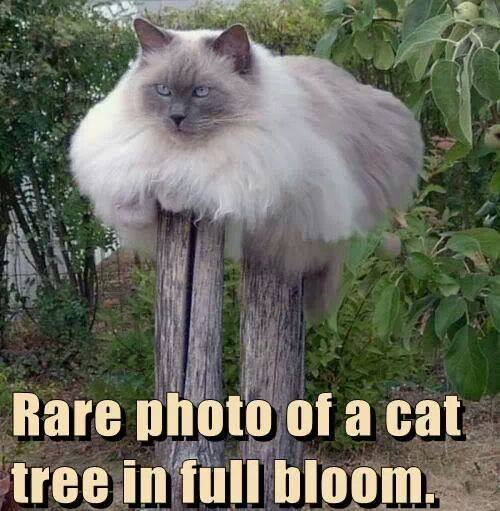 Funny Animal Memes - rare cat tree